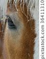 Horse Closeup of Eye 36411310
