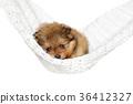 Pomeranian Spitz puppy in a hammock 36412327