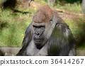 西部低地大猩猩 動物 大猩猩 36414267