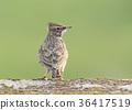 Close upportrait of crested lark  36417519