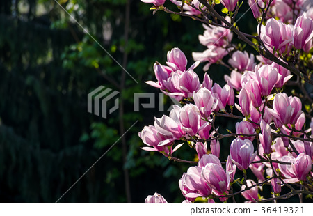 magnolia flowers on a blurry background 36419321