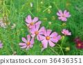คอสมอส,ดอกไม้,ทุ่งดอกไม้ 36436351