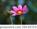 ราชอาณาจักรไทยสวนพระราม 9 Pink Cosmos 36436356
