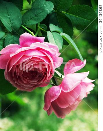 粉紅玫瑰 36436862
