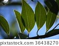 blank expression, leaf, lauraceae 36438270
