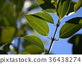 blank expression, leaf, lauraceae 36438274