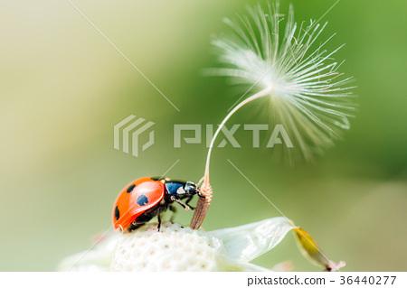 솜털, 무당벌레, 곤충 36440277