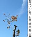 cherry blossom, cherry tree, fake buyer 36440520