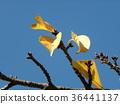 kawazu cherry blossoms, autumn leafe, yellow 36441137