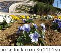 三色堇 花朵 花卉 36441456
