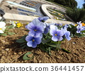 pansy, bloom, blossom 36441457