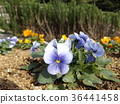 pansy, bloom, blossom 36441458