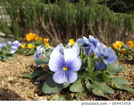 三色堇 花朵 花卉 36441458
