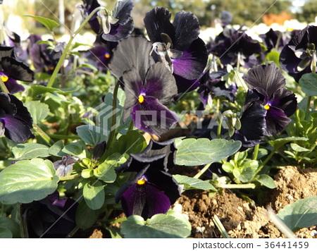 วิโอลา,ดอกไม้,ฤดูหนาว 36441459