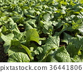 油菜花 强奸的花朵 花椰菜和芥蓝的杂交品种 36441806