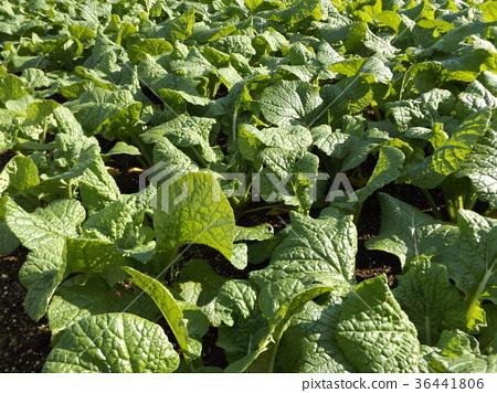 油菜花 花椰菜和芥藍的雜交品種 強奸的花朵 36441806