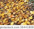 红叶 秋叶 枫树 36441808