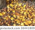 红叶 秋叶 枫树 36441809
