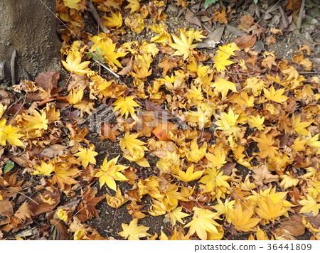 ต้นเมเปิล,ฤดูใบไม้ร่วง,ใบไม้ร่วง 36441809