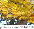 ต้นเมเปิลแดงใหญ่ 36441810
