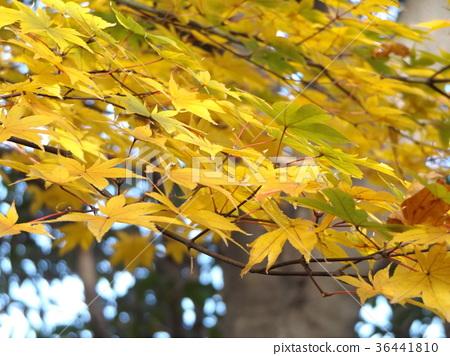 红叶 秋叶 枫树 36441810