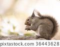 다람쥐, 일본 다람쥐, 니혼리스 36443628