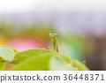 closeup green Mantis on a leaf. Mantodea. 36448371