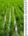 稻田 36456397