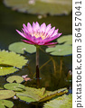 water, lily, water-lily 36457041
