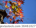maple, yellow leafe, red leafe 36461027