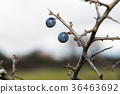 Blackthorn berries close up 36463692