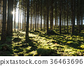 Backlit mossy forest 36463696
