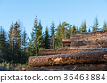 Pulpwood woodpile in a forest 36463884
