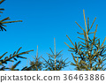 Tops of growing young spruce trees 36463886