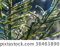 Spruce twigs with glittering dew drops 36463890