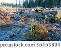 Reforestation with spruce seedlings 36463894