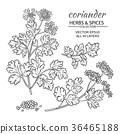 coriander vector set 36465188