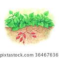 农作 农事 蔬菜 36467636