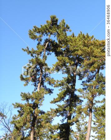 南欧黑松 长青树 绿色 36468906