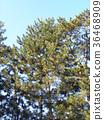 black pine, an evergreen tree, green 36468909
