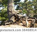 black pine, an evergreen tree, green 36468914