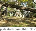 black pine, an evergreen tree, green 36468917