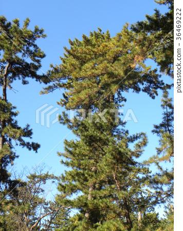 南欧黑松 长青树 绿色 36469222
