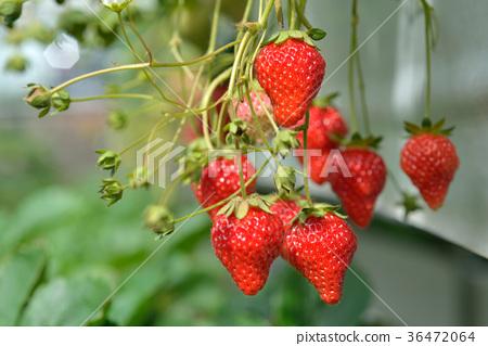 草莓,果實,新鮮,美味,可口,紅色,成長,自然,溫暖,甜蜜,水果 36472064