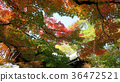 Momiji. Red maples blooming.  36472521