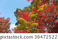 Momiji. Red maples blooming. 36472522