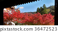 Momiji. Red maples blooming. 36472523