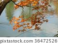 Momiji. Autumn mood.  36472526