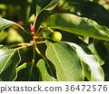 camphor, tree, botanic 36472576