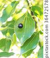 camphor, tree, botanic 36472578